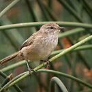 Little Grassbird - Megalurus gramineus by Barb Leopold
