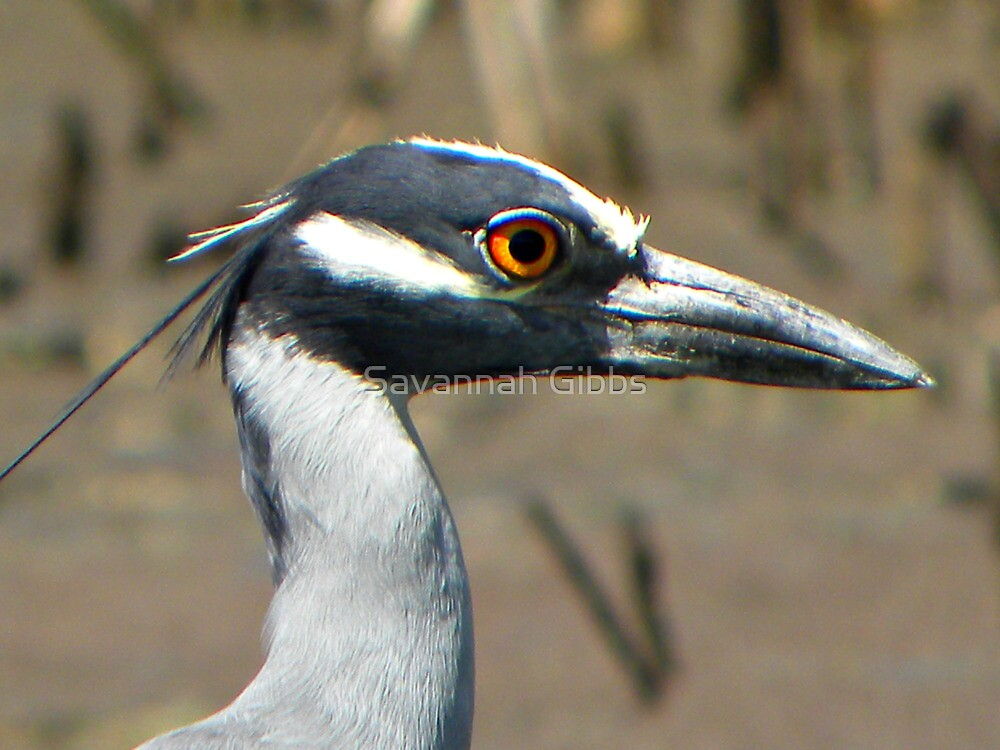 Yellow-crowned Night Heron  by Savannah Gibbs