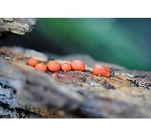 Lycogala epidendrum (A Slime Mould) Photographic Print