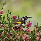 New Holland Honeyeater at Warrawong by Barb Leopold