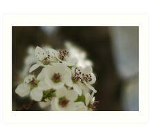 Bradford Pear Blossoms Art Print