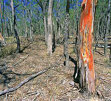 Red Gum Tree - Eucalypt forest, NSW, by graphicscapes