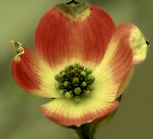Dogwood by love2shoot