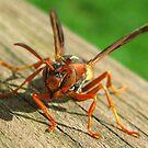 Wasp, not in a good mood. by Phil Campus