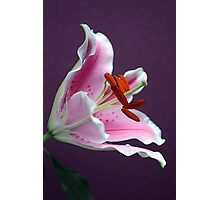"Lilium ""Stargazer"" Photographic Print"