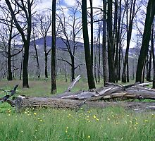 Fire Blackened Beech Trees - Kosciuszko NP NSW, by graphicscapes