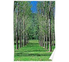 Avenue of Poplar Trees - Hunter Valley NSW, Poster