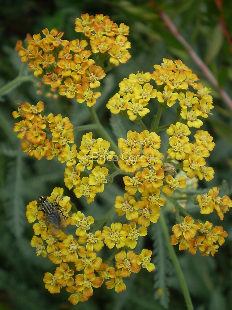 Yarrow (Achillea 'Terracotta') and Fly by Erica Corr