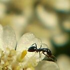 Yarrow (Achillea millefolium) and Ant by Erica Corr