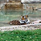 It's a Tigers' life! by Kimberly Caldwell