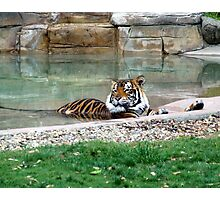 It's a Tigers' life! Photographic Print