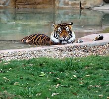 Orange Tiger Napping in the Water by Kimberly Caldwell