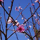 Pink Peach Blossoms in a Blue Sky by Kimberly Caldwell