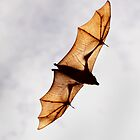Bendigo Fruit Bats 1 by Rikki  Pool