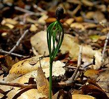 Pine Sprout-Mariposa, Ca by Alan Brazzel