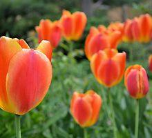 Two Tone Orange Tulips by Kathleen Brant