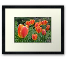 Two Tone Orange Tulips Framed Print