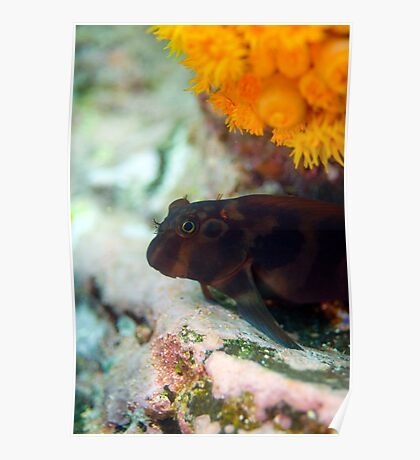 Galapagos Goby Poster
