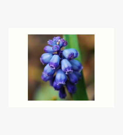 GRAPE HYACINTH CLOSE UP Art Print