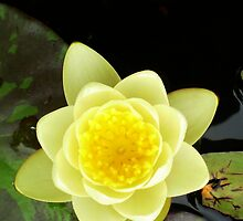 Water Lily by Erica Corr