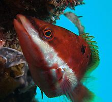 Red Banded Wrasse (Pseudolabrus biserialis) by idun0