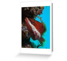 Red Banded Wrasse (Pseudolabrus biserialis) Greeting Card