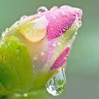 Camellia Droplet by jayneeldred