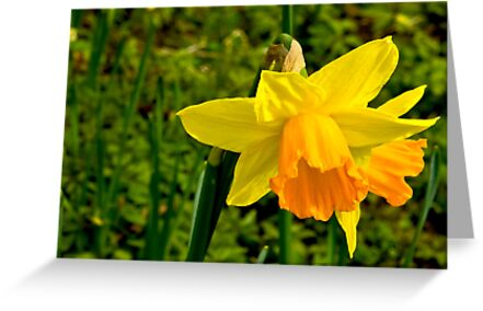 Daffodill #2 by Trevor Kersley