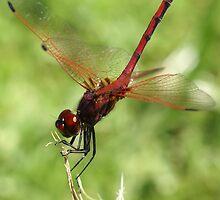 Red Winged Dragon by Michelle Lee Blatt