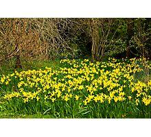 Yellow Trumpets Photographic Print