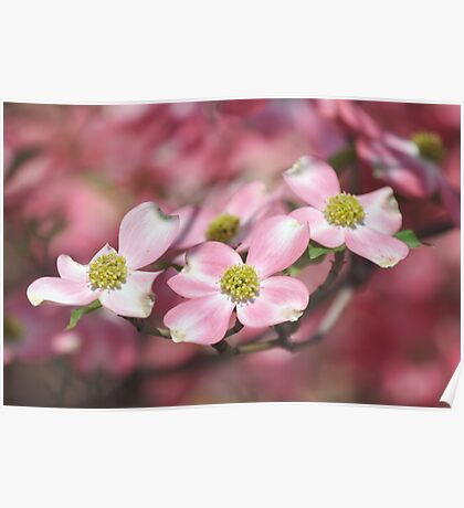 Pink Dogwood - Cornus florida Poster