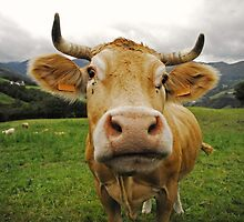 In the lovely eyes of a french cow by Gillou