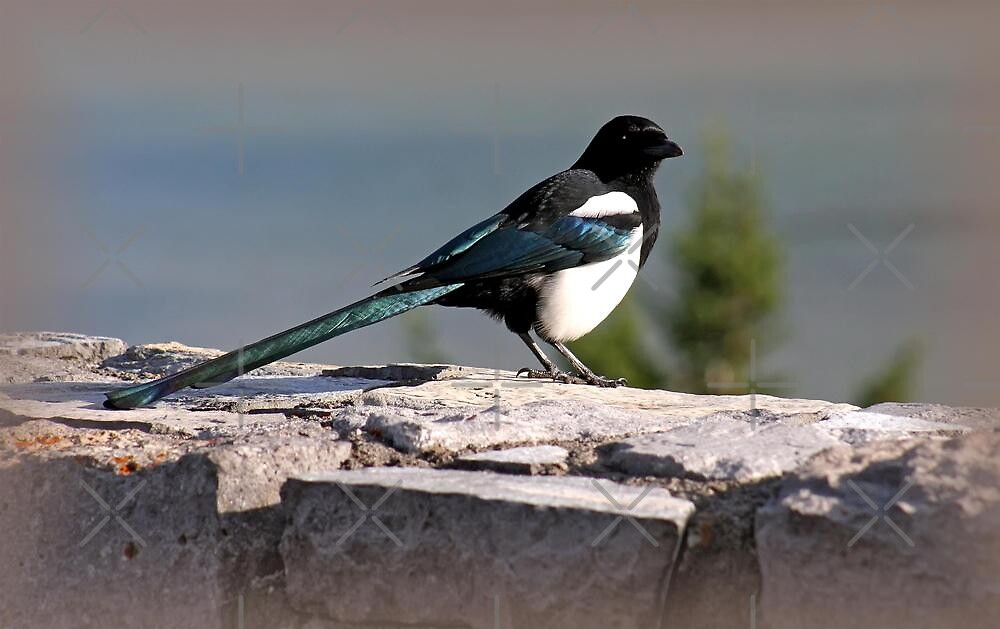Magnificent Black-Billed Magpie by Vickie Emms