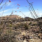 Ocotillo Blossoms by Terence Russell