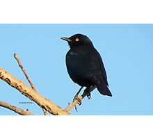 Glossy Starling Photographic Print