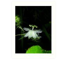 Passiflora foetida Art Print