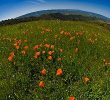 Poppy Fields Forever by MattGranz