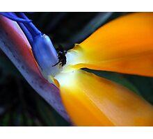 Bee and Paradise Bird 2 Photographic Print