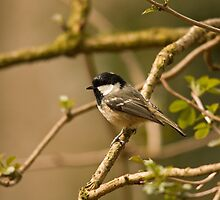 Coal tit in the park by Jon Lees