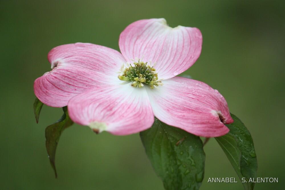 dogwood flower by ANNABEL   S. ALENTON