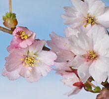 Prunus Mikinori ll by Catherine Wood