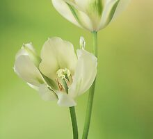 Tulipa Spring Green by Catherine Wood