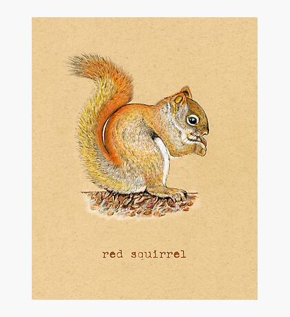 Red Squirrel Photographic Print