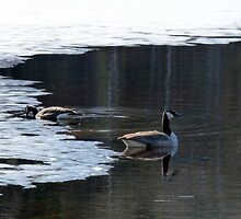 The Canadian Geese Are Back by HELUA