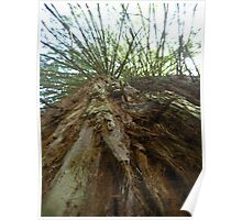 Giant Redwood Tree Poster