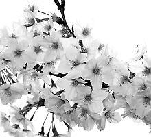 Sakura in Black & White by mjds