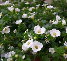Pretty Little White Flowers by Kharizma