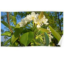 Pear Blossoms So Awesome! Poster