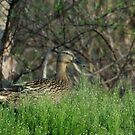 Camo Quacker by love2shoot