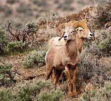 Desert Big Horn Rams  by Albert Dickson